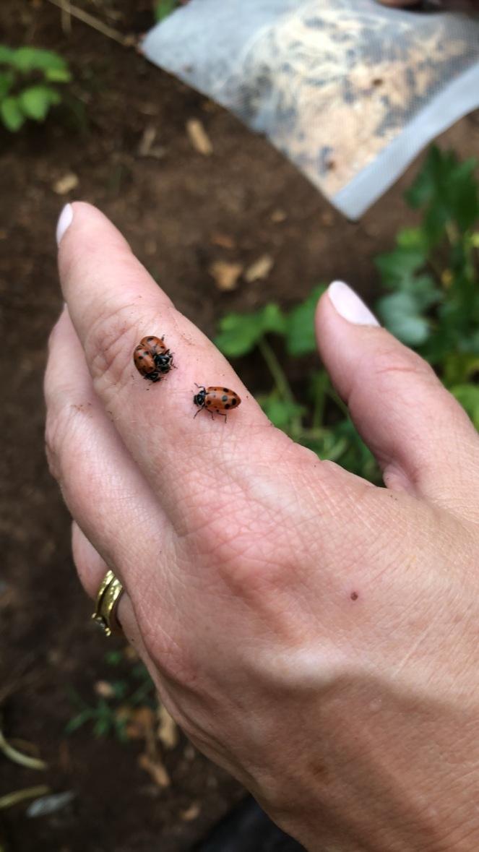 ladybug release 2