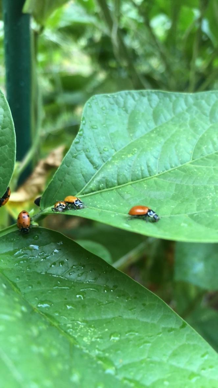 Ladybugs A