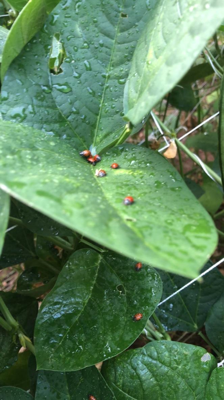 Ladybugs B