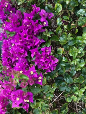 Bougainvillea - Purple