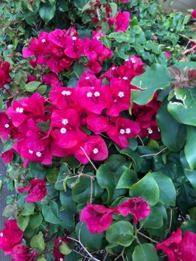Bougainvillea - Red